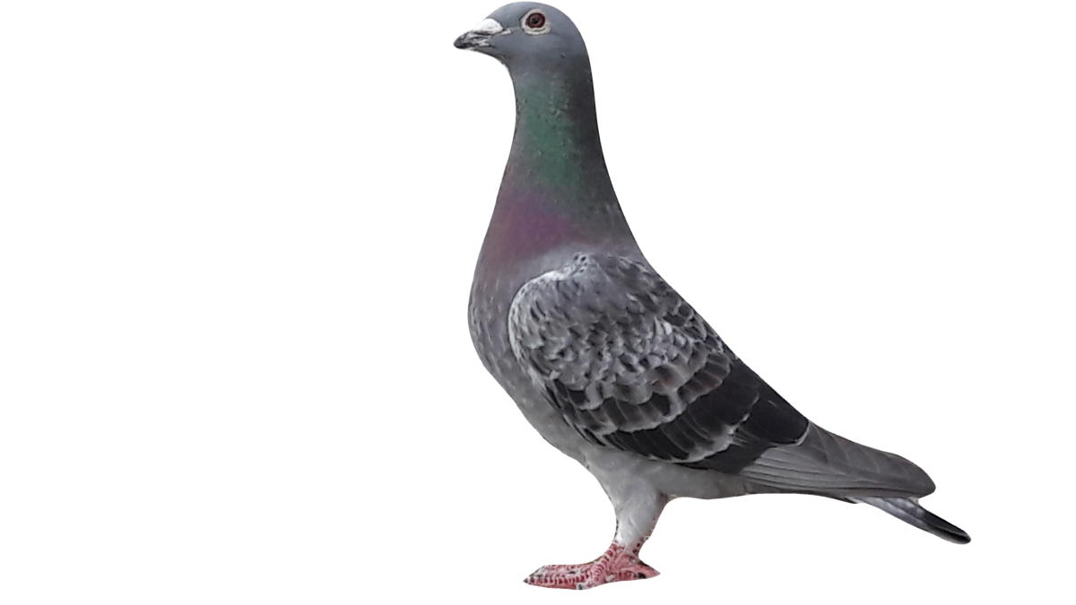 Pigeons for sale, Racing pigeons for sale